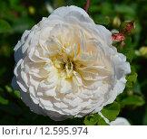 Роза кустарниковая Крокус Роуз (Эмануэль) (лат. Crocus Rose), David Austin 2000. Стоковое фото, фотограф lana1501 / Фотобанк Лори