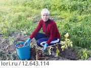 Купить «Женщина собирает картофель с земли в ведро», фото № 12643114, снято 5 сентября 2015 г. (c) Наталья Осипова / Фотобанк Лори