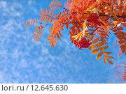 Купить «Красная рябина на фоне неба», фото № 12645630, снято 6 сентября 2015 г. (c) Икан Леонид / Фотобанк Лори