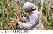 Мужчина оценивает кукурузный початок. Стоковое видео, видеограф Земсков Андрей  Владимирович / Фотобанк Лори