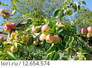 Купить «Спелые яблоки в саду», эксклюзивное фото № 12654574, снято 19 августа 2015 г. (c) Елена Коромыслова / Фотобанк Лори