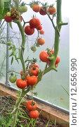 Купить «Куст томатов со спелыми плодами в теплице», фото № 12656990, снято 1 августа 2015 г. (c) Елена Перминова / Фотобанк Лори