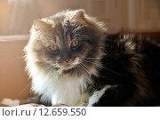 Купить «Полосатый пушистый кот», фото № 12659550, снято 17 июня 2019 г. (c) Зезелина Марина / Фотобанк Лори