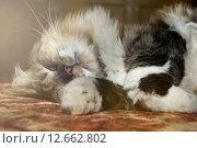 Купить «Полосатый пушистый кот спит на ковре», фото № 12662802, снято 20 ноября 2017 г. (c) Зезелина Марина / Фотобанк Лори