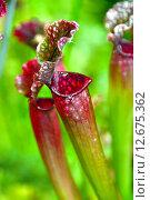 Купить «Саррацения Sarracenia spp. et hort (лат. Sarracenia)», эксклюзивное фото № 12675362, снято 6 августа 2015 г. (c) lana1501 / Фотобанк Лори