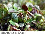 Купить «Цефалотус мешочковый (лат. Cephalotus follicularis)», эксклюзивное фото № 12675438, снято 6 августа 2015 г. (c) lana1501 / Фотобанк Лори