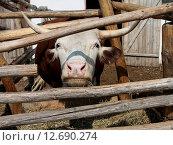 Бык поедающий сено. Стоковое фото, фотограф Валентин Родоманов / Фотобанк Лори