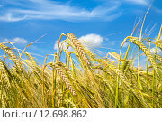 Купить «Зрелые колосья ячменя», фото № 12698862, снято 19 июля 2015 г. (c) Икан Леонид / Фотобанк Лори