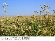 Купить «Красивое летнее поле гречихи», фото № 12701098, снято 24 июля 2015 г. (c) Юлия Машкова / Фотобанк Лори