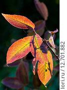 Жёлтые листья. Стоковое фото, фотограф Роман Гурков / Фотобанк Лори