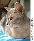 Абиссинская кошка лежит на одеяле. Стоковое фото, фотограф Vladimir Zhupanenko / Фотобанк Лори