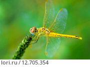 Красивая стрекоза на зеленом фоне. Стоковое фото, фотограф Оксана Дорохина / Фотобанк Лори