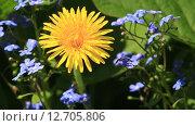 Купить «Одуванчик на поляне», видеоролик № 12705806, снято 18 сентября 2015 г. (c) Ekaterina Andreeva / Фотобанк Лори