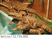 Детёныши крокодила. Стоковое фото, фотограф Юлия Цигун / Фотобанк Лори