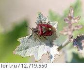 Щитник ягодный (Dolycoris baccarum). Насекомое на листе винограда, Краснодарский край. Стоковое фото, фотограф Григорий Писоцкий / Фотобанк Лори