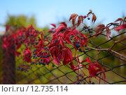 Дикий виноград. Забор. Стоковое фото, фотограф Оксана Гапонова / Фотобанк Лори