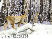 Купить «Рысь в лесу зимой. Музей Березинского заповедника», фото № 12739854, снято 14 августа 2015 г. (c) Владимир Макеев / Фотобанк Лори