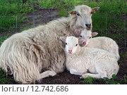 Berlin, Germany, sheep and lambs racial Skudde (2014 год). Редакционное фото, агентство Caro Photoagency / Фотобанк Лори