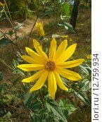 Топинамбур (Жёлтый цветок) Стоковое фото, фотограф Светлана Колотухина / Фотобанк Лори