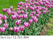 Купить «Розово-белые тюльпаны», эксклюзивное фото № 12761494, снято 20 мая 2015 г. (c) Елена Коромыслова / Фотобанк Лори