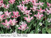 Купить «Розово-белые сортовые тюльпаны», эксклюзивное фото № 12761502, снято 20 мая 2015 г. (c) Елена Коромыслова / Фотобанк Лори