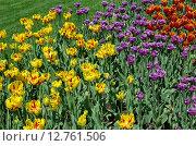 Купить «Разноцветные махровые сортовые тюльпаны», эксклюзивное фото № 12761506, снято 20 мая 2015 г. (c) Елена Коромыслова / Фотобанк Лори