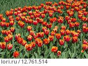 Купить «Красно-желтые тюльпаны», эксклюзивное фото № 12761514, снято 20 мая 2015 г. (c) Елена Коромыслова / Фотобанк Лори