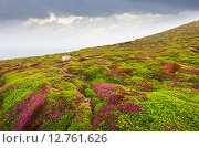 Купить «fine-leaved heath (Erica cinerea) plant at ocean coast. Galicia», фото № 12761626, снято 2 июня 2020 г. (c) Яков Филимонов / Фотобанк Лори