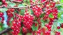 Спелые ягоды садовой красной смородины на ветках, камера вверх, видеоролик № 12765662, снято 12 сентября 2015 г. (c) Кекяляйнен Андрей / Фотобанк Лори