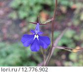 Синяя лобелия (лат. Lobelia erinus) Стоковое фото, фотограф Елена Осетрова / Фотобанк Лори