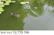 Купить «Маленькая черепаха плывет в воде», видеоролик № 12779746, снято 30 сентября 2015 г. (c) Наталья Волкова / Фотобанк Лори