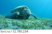 Купить «Зелёная морская черепаха или суповая черепаха (Chelonia mydas) Красное море, Марса-эль-Алам, бухта Абу-Дабаб, Египет», видеоролик № 12780234, снято 1 июня 2015 г. (c) Некрасов Андрей / Фотобанк Лори