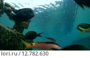 Купить «Рыбы чистильщики чисят Барабуль над затонувшем судном, Красное море, Марса-эль-Алам, бухта Абу-Дабаб, Египет», видеоролик № 12782630, снято 2 июня 2015 г. (c) Некрасов Андрей / Фотобанк Лори