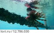 Купить «Рыба крылатка плывет перевернувшись под поверхностью воды, Красное море, Марса-эль-Алам, бухта Абу-Дабаб, Египет», видеоролик № 12786030, снято 1 июня 2015 г. (c) Некрасов Андрей / Фотобанк Лори