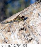 Купить «Стрекоза на стволе дерева», фото № 12791938, снято 26 сентября 2015 г. (c) Алексей Маринченко / Фотобанк Лори