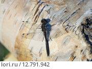 Купить «Стрекоза сидит на березе», фото № 12791942, снято 26 сентября 2015 г. (c) Алексей Маринченко / Фотобанк Лори