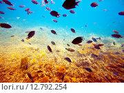 Купить «tropical fishes on coral reef area», фото № 12792254, снято 28 декабря 2011 г. (c) Яков Филимонов / Фотобанк Лори