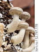 Купить «Shiitake on a mushroom substrate», фото № 12797178, снято 20 июля 2019 г. (c) PantherMedia / Фотобанк Лори