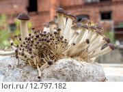Купить «southern poplar mushroom on a mushroom substrate », фото № 12797182, снято 21 июля 2019 г. (c) PantherMedia / Фотобанк Лори