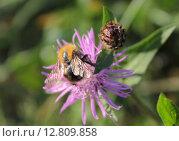 Полевой шмель (Bombus pascuorum) на цветке василька лугового. Стоковое фото, фотограф Ирина Водяник / Фотобанк Лори