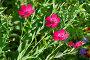 Лён крупноцветковый (лат. Linum grandiflorum) атласный красный, фото № 12830542, снято 15 августа 2015 г. (c) Елена Коромыслова / Фотобанк Лори