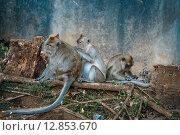 Семья из обезьян чистят шерсть. Стоковое фото, фотограф fjodorov vladimir / Фотобанк Лори