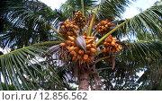 Купить «Спелый кокос падает с пальмы качающейся на ветру, Мальдивские острова», видеоролик № 12856562, снято 11 октября 2015 г. (c) KEN VOSAR / Фотобанк Лори
