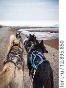 Купить «Sled dogs waiting to pull the sled», фото № 12895850, снято 21 марта 2019 г. (c) PantherMedia / Фотобанк Лори