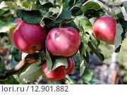 Красные яблоки. Стоковое фото, фотограф Валентин Родоманов / Фотобанк Лори