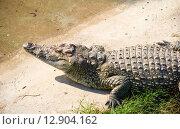Купить «Крокодил у пруда», эксклюзивное фото № 12904162, снято 16 сентября 2015 г. (c) Александр Щепин / Фотобанк Лори