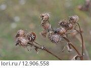 Сухой засушенный самой природой чертополох один из признаков осени с  красивой блестящей мухой. Стоковое фото, фотограф Svetlana Agaeva / Фотобанк Лори