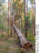 Купить «Гнилое упавшее дерево в лесу», фото № 12906722, снято 6 апреля 2008 г. (c) Константин Лабунский / Фотобанк Лори