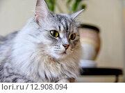 Купить «Серая пушистая кошка», фото № 12908094, снято 6 июля 2015 г. (c) Илюхина Наталья / Фотобанк Лори