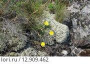Желтые цветы в камнях. Стоковое фото, фотограф Anna Berglef / Фотобанк Лори